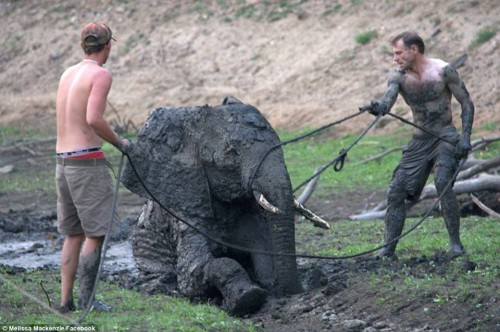 Safari Guides in Zimbabwe Attempt to Save Elephant in Quagmire