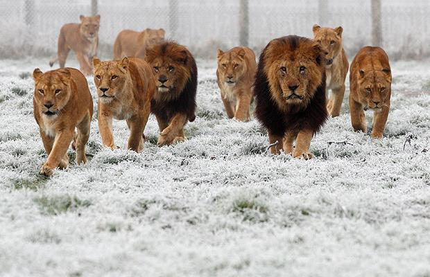 South Africans In Trouble As 14 Lions Reported To Be On The Loose