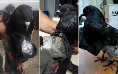 Pigeon used to transport drugs into Costa Rica's Prison