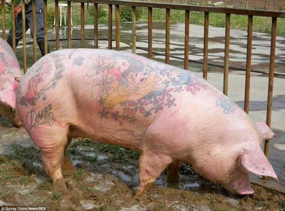 Tattoo on a pig? Does it increase the value? Yeah!