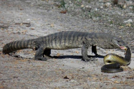 Monitor Lizard kills a Tiger  Snake after a deadly fight