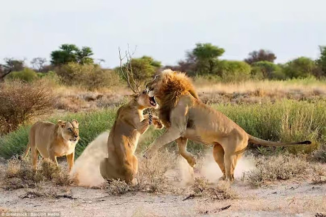 Just imagine what a jealous lion can do