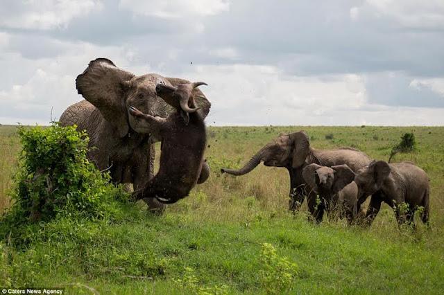 Elephant vs Buffalo - No Grass Suffered Here