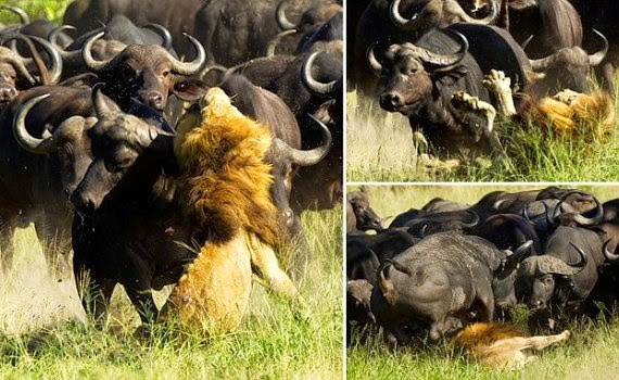Hunter Hunted! See moment lion was trampled to death by buffalo stampede