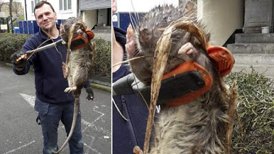 4ft long Rat found close to a playground